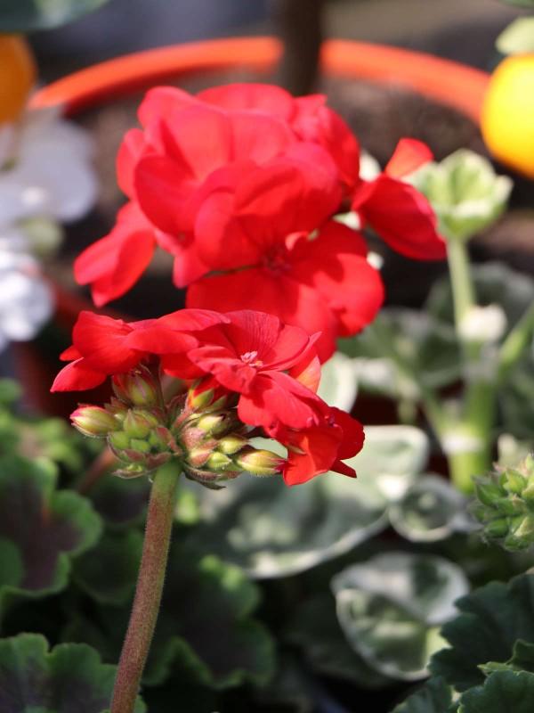 Geraniums - In Variety
