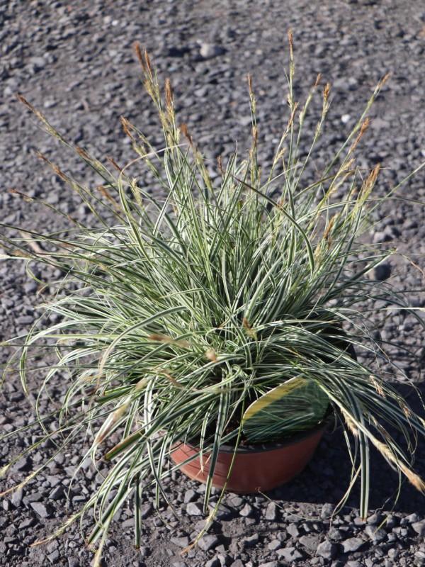 Carex 'Everest'