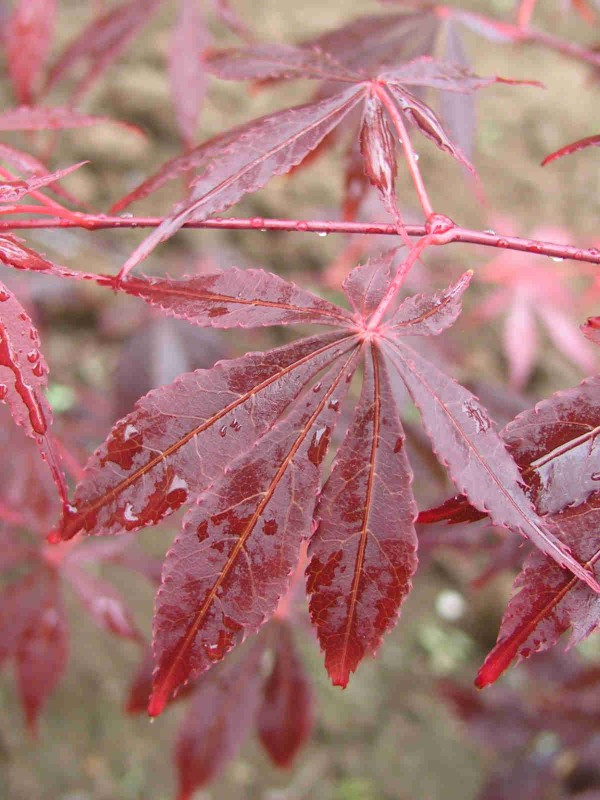 Acer 'Sherwood Flame'