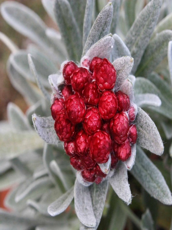 Helichrysum 'Red Jewel'