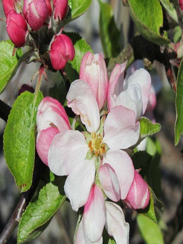 Apple - Malus d. 'Jonagold'