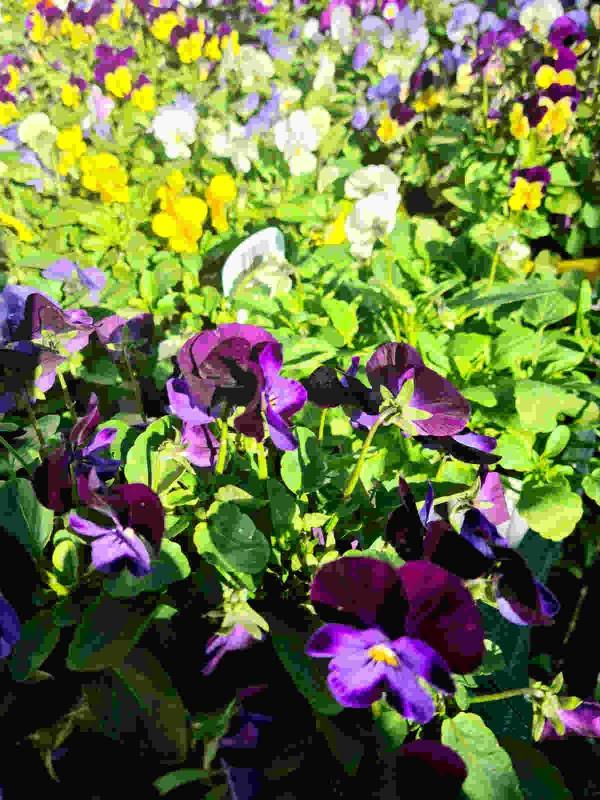 Viola - In Variety
