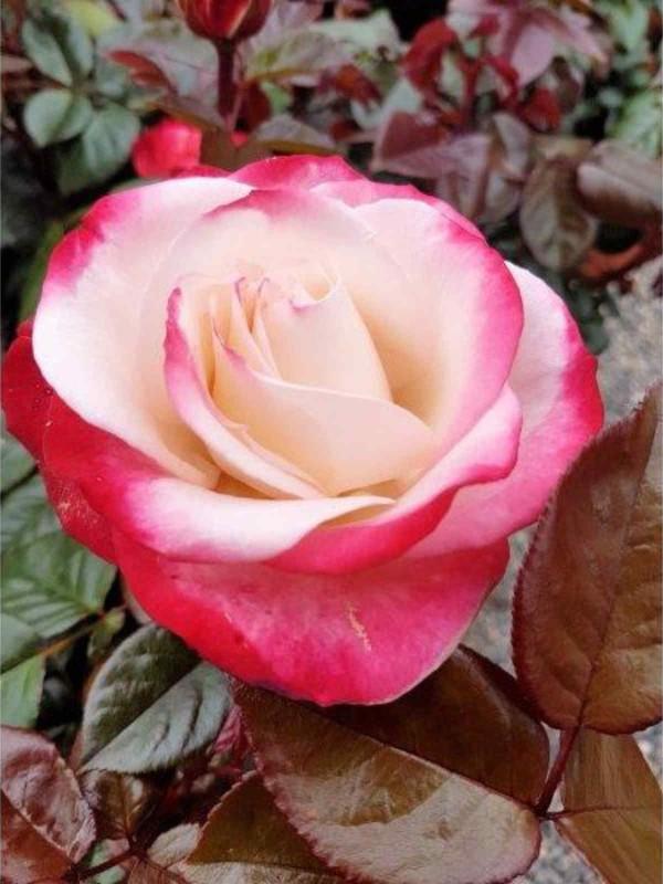 Rosa 'Nostalgia'