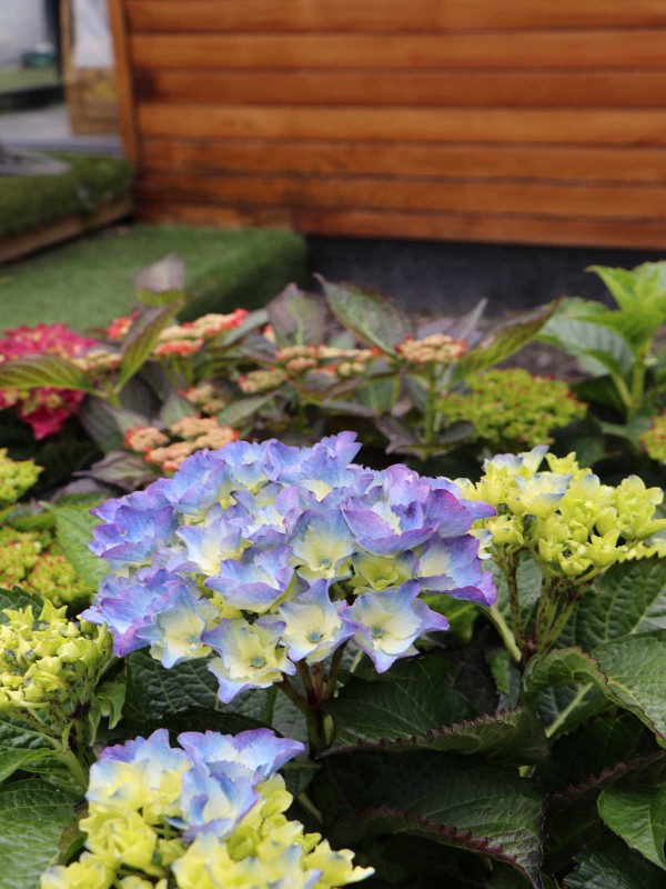 Hydrangea Royal Collection Blue
