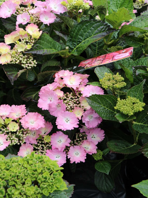 Hydrangea Royal Collection Lilac