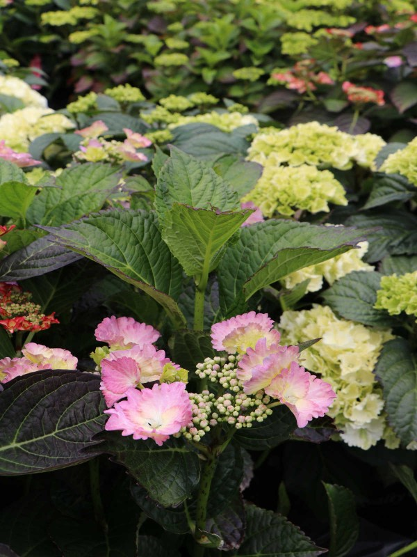 Hydrangea Royal Collection Pink-White