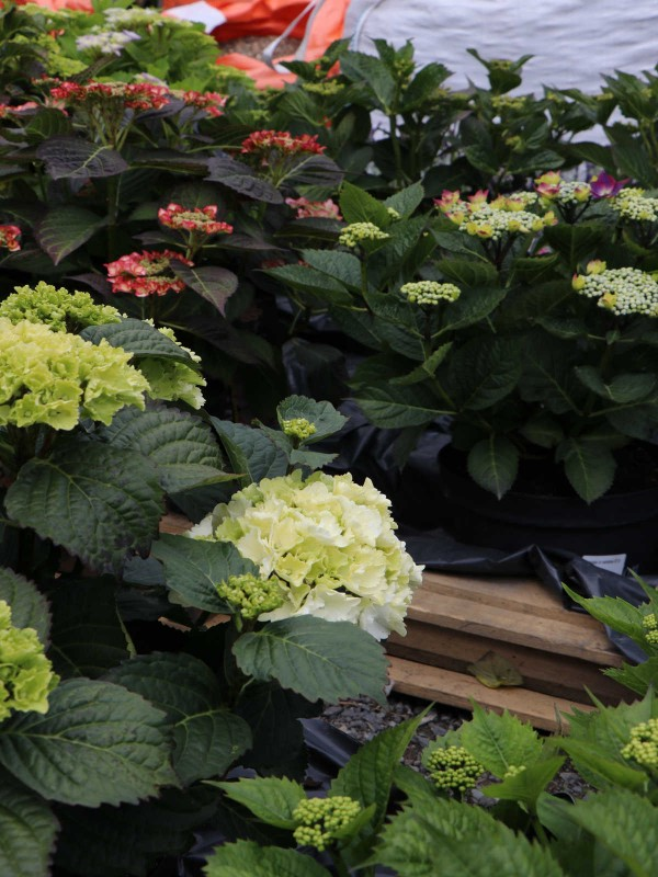 Hydrangea Royal Collection White