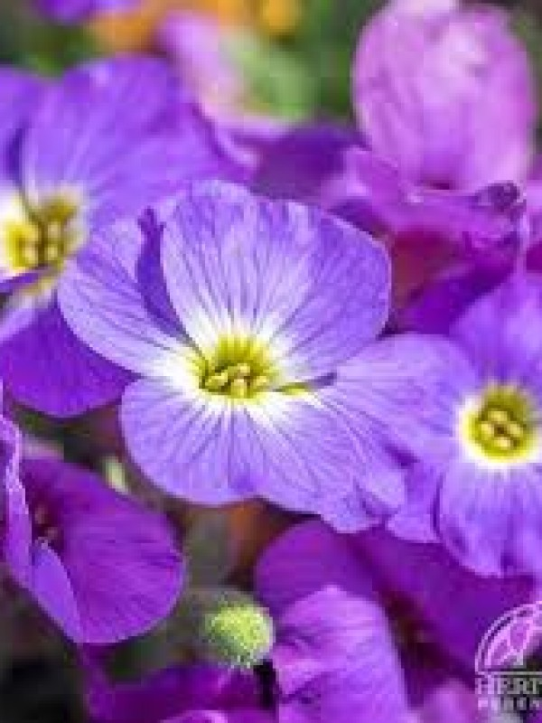 Aubrieta  'Accent  Deep Purple'
