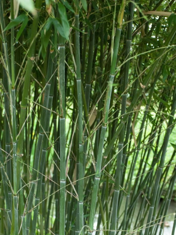 Phyllostachys 'Bissettii'