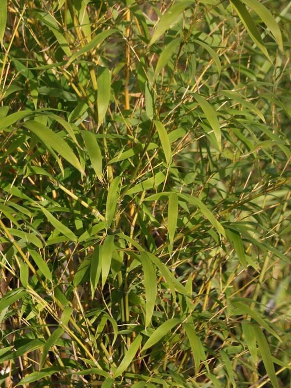 Phyllostachys 'Aureosulcata Spectabilis' 260cm