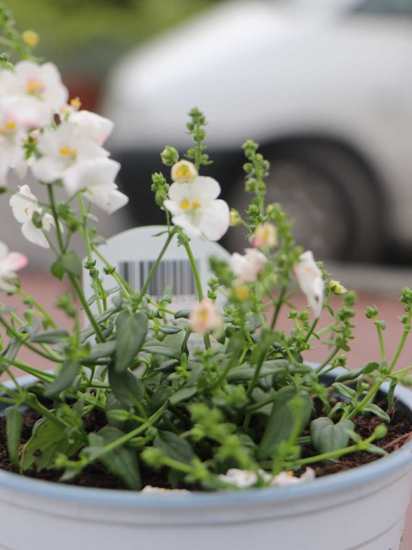 Bacopa - In Variety