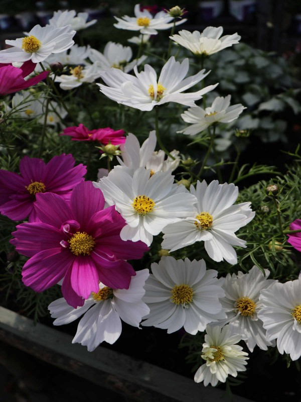 Cosmos- In Variety
