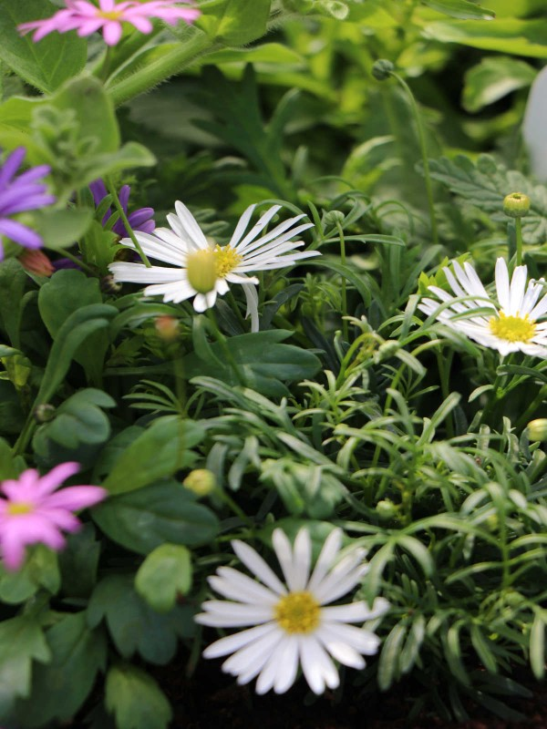 Margeurite Daisies - In Variety