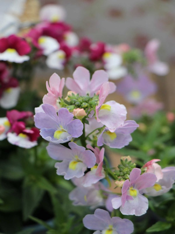 Nemesia Scented- In Variety