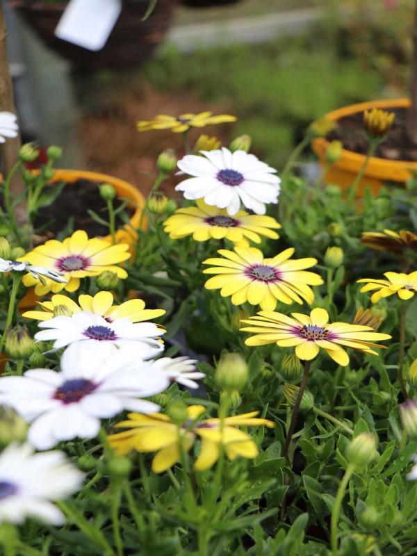Osteospermum- In Variety