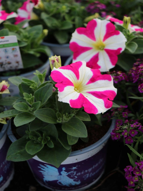 Petunia Trailing - In Variety