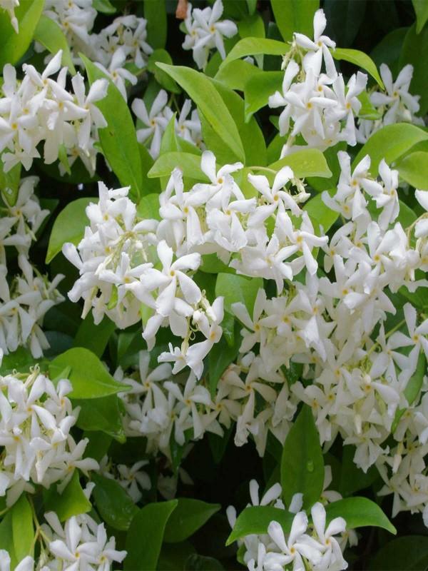 Trachelospermum jasminoides 3 Litre