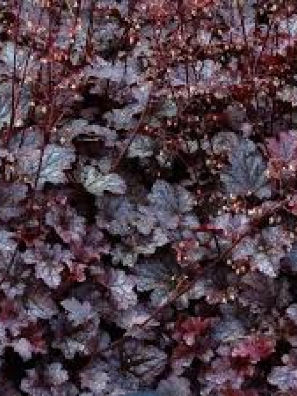 Heuchera 'Dark Storm'