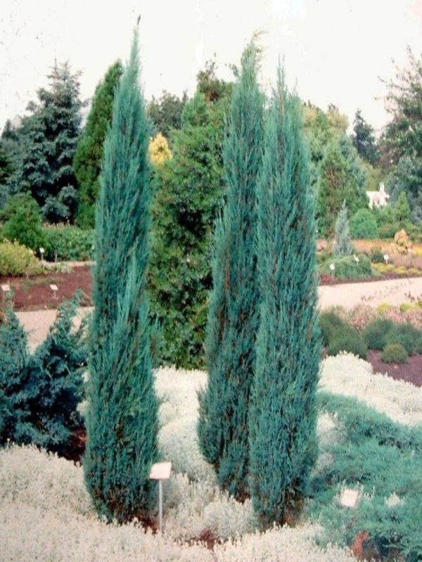 Juniperus 'Blue Arrow' 120cm