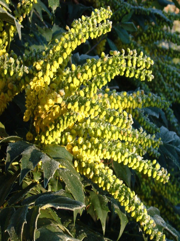 Mahonia Soft Caress - 18 LItre