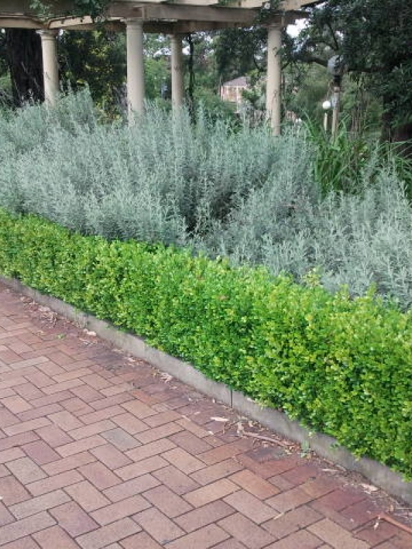 Buxus sempervirens Bare Root 25-30 cm