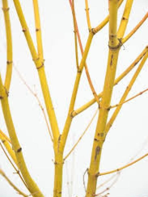 Acer 'Bihoo'